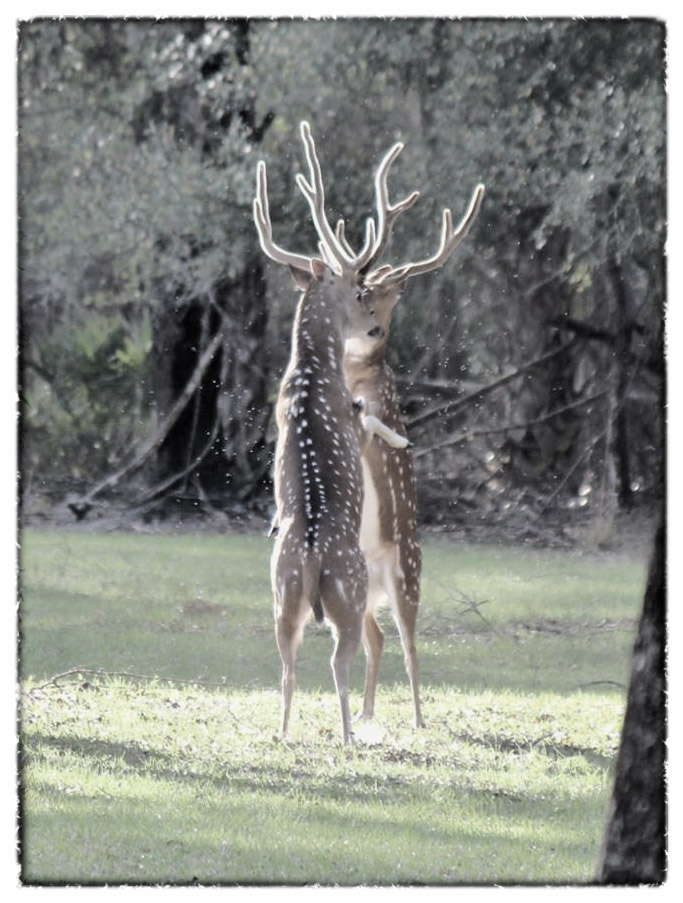 Circle S Ranch Hunt Club - Whitetails, Blackbucks and Axis Deer in FL